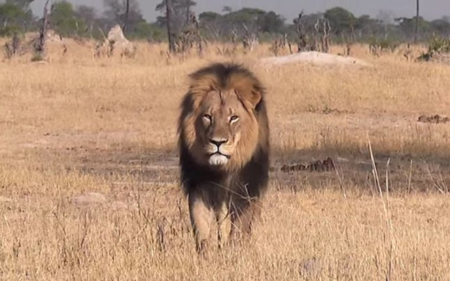 Cecil_the_lion_in__3388298b1